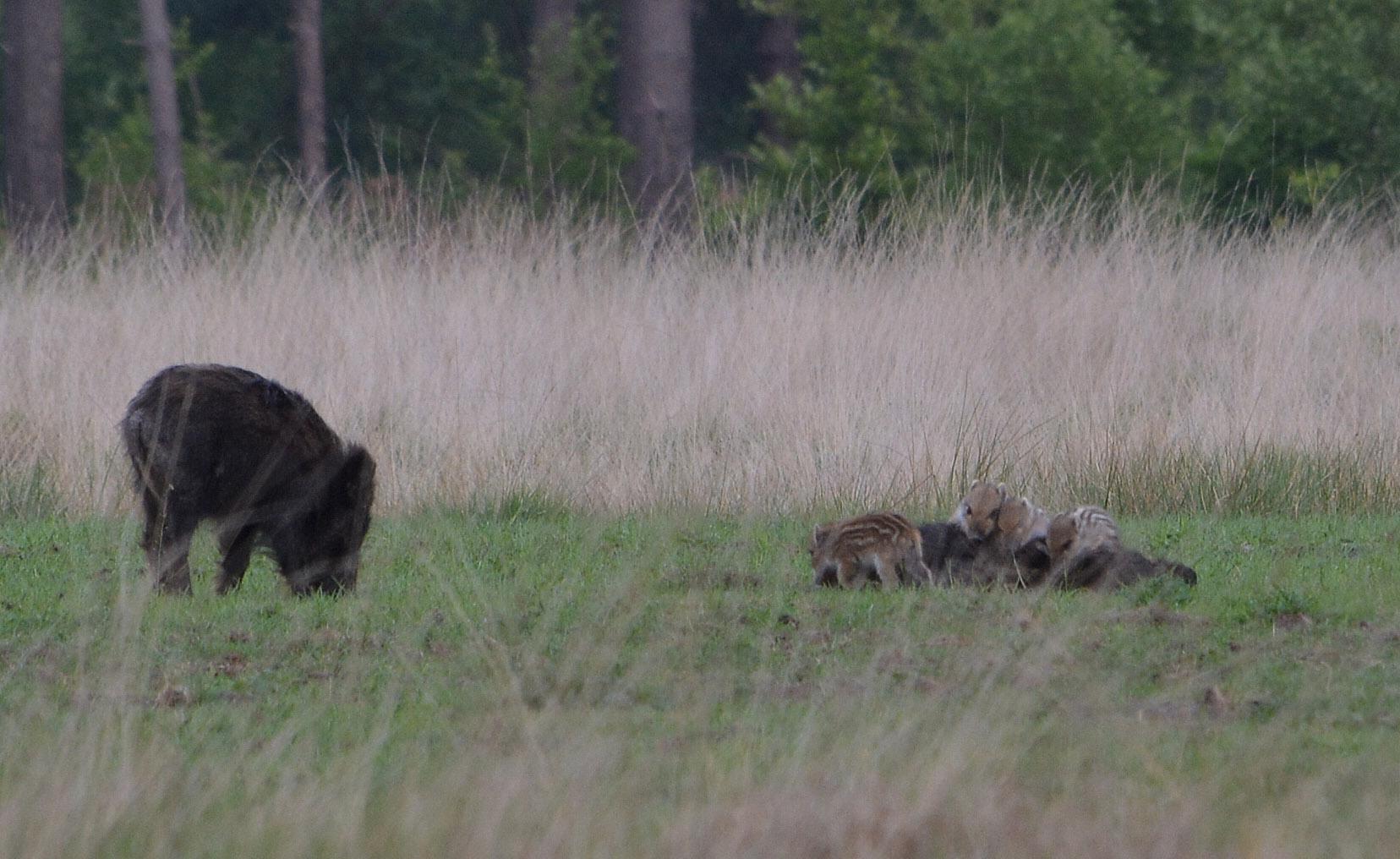 Als moeder dan weer gaat liggen, buitelen de kleintjes over haar heen - Foto: ©Florus van den Berg
