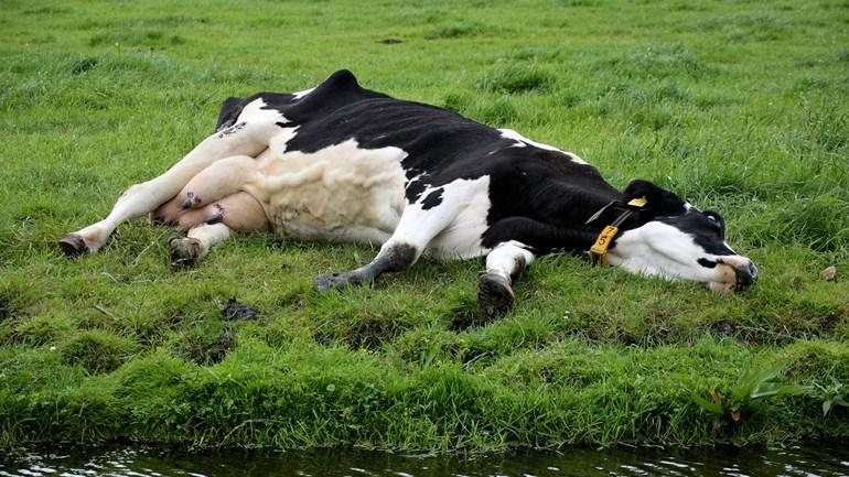 Duizenden koeien gaan dood door zwerfafval - Foto: ©Public Domain Pictures