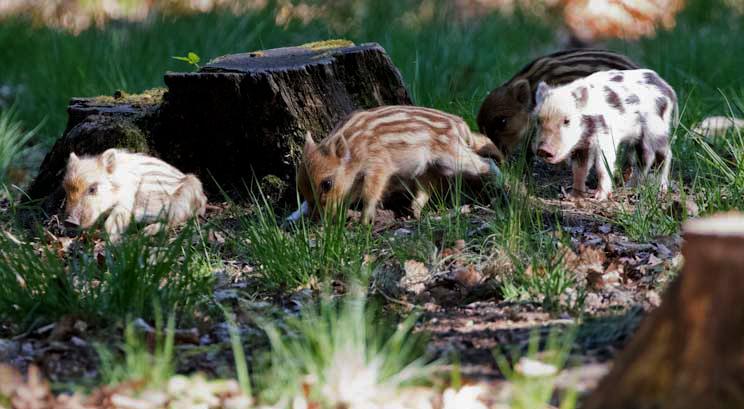 Frischlingen bij de boomstronk om te schuren, achteraan het bonte zwijntje – Foto: ©Manolito Jaarsma