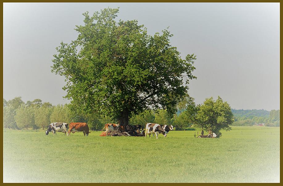 De koeien zoeken wat wat verkoeling in de schaduw van de oude eik - Foto: ©Louis Fraanje