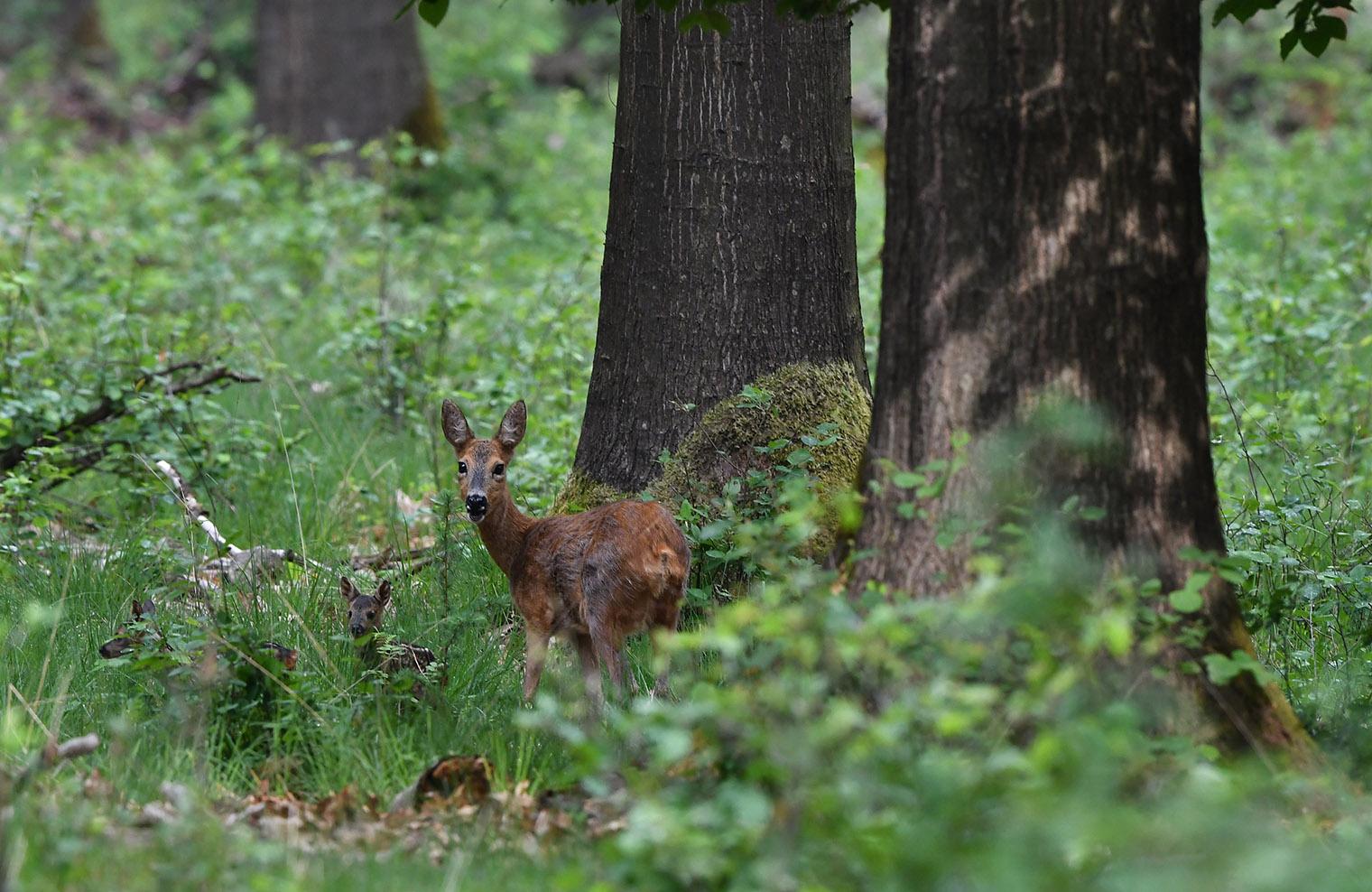 Een zorgzame reeënmoeder met haar kroost onder de woudreuzen van het bos - Foto: ©Louis Fraanje