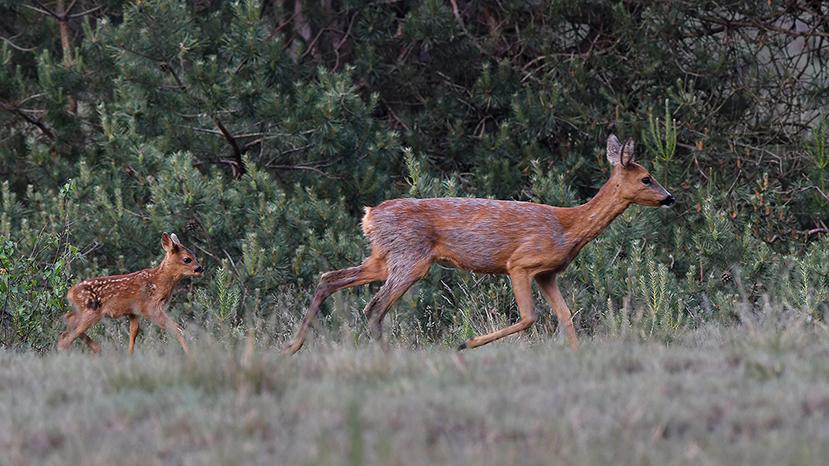 Rusteloos trekken ze verder langs de bosrand - Foto: ©Louis Fraanje