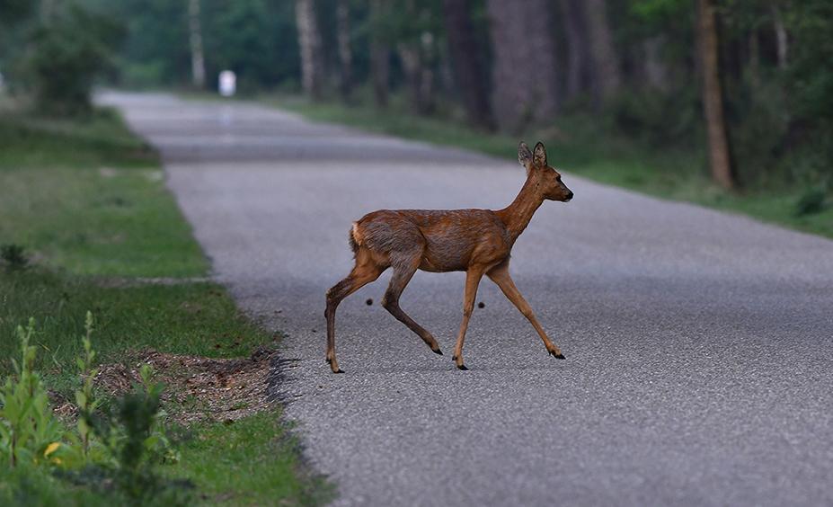 Geheel onverwacht steekt ze de weg weer over - Foto: ©Louis Fraanje