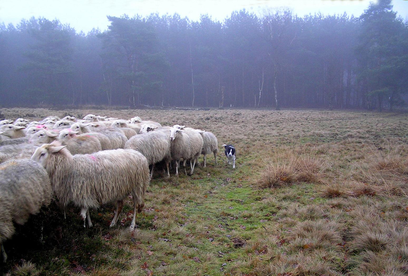 Wat zou een herder zonder goede hond moeten beginnen? - Foto: ©Christien Mouw