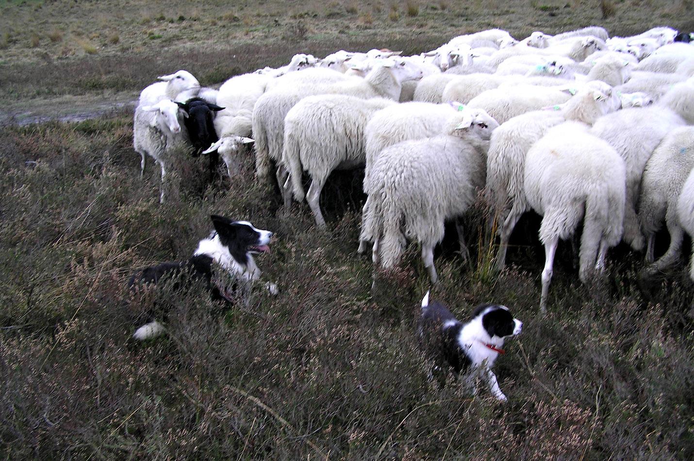 De kudde onder toeziend oog van Joss en Famke...