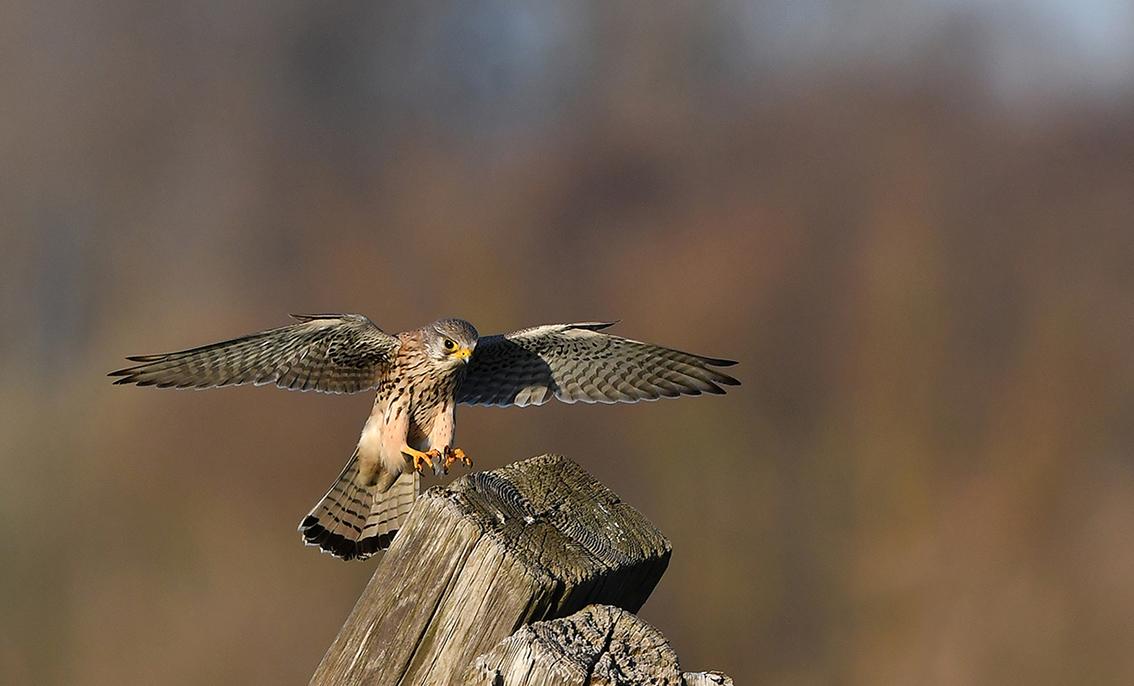 Een torenvalk zet de landing in op een stapel hout - Foto: ©Louis Fraanje