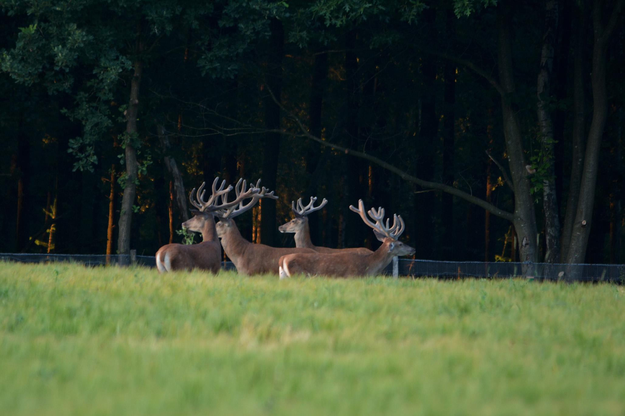 Ook het bekende hert Lambertus (2e van rechts) loopt er tussen - Foto: ©Florus van den Berg