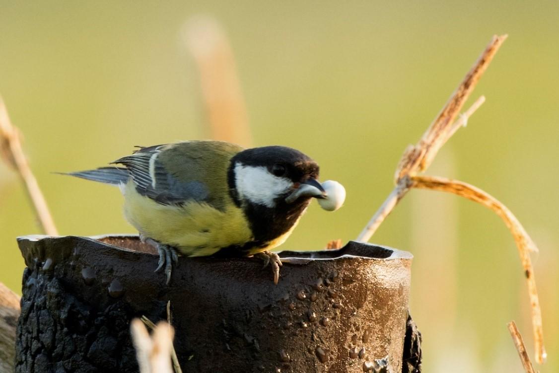 Koolmees moet haastig een volle luier van één van haar jongen in de nestpijp lossen - Foto: ©Ton Heekelaar