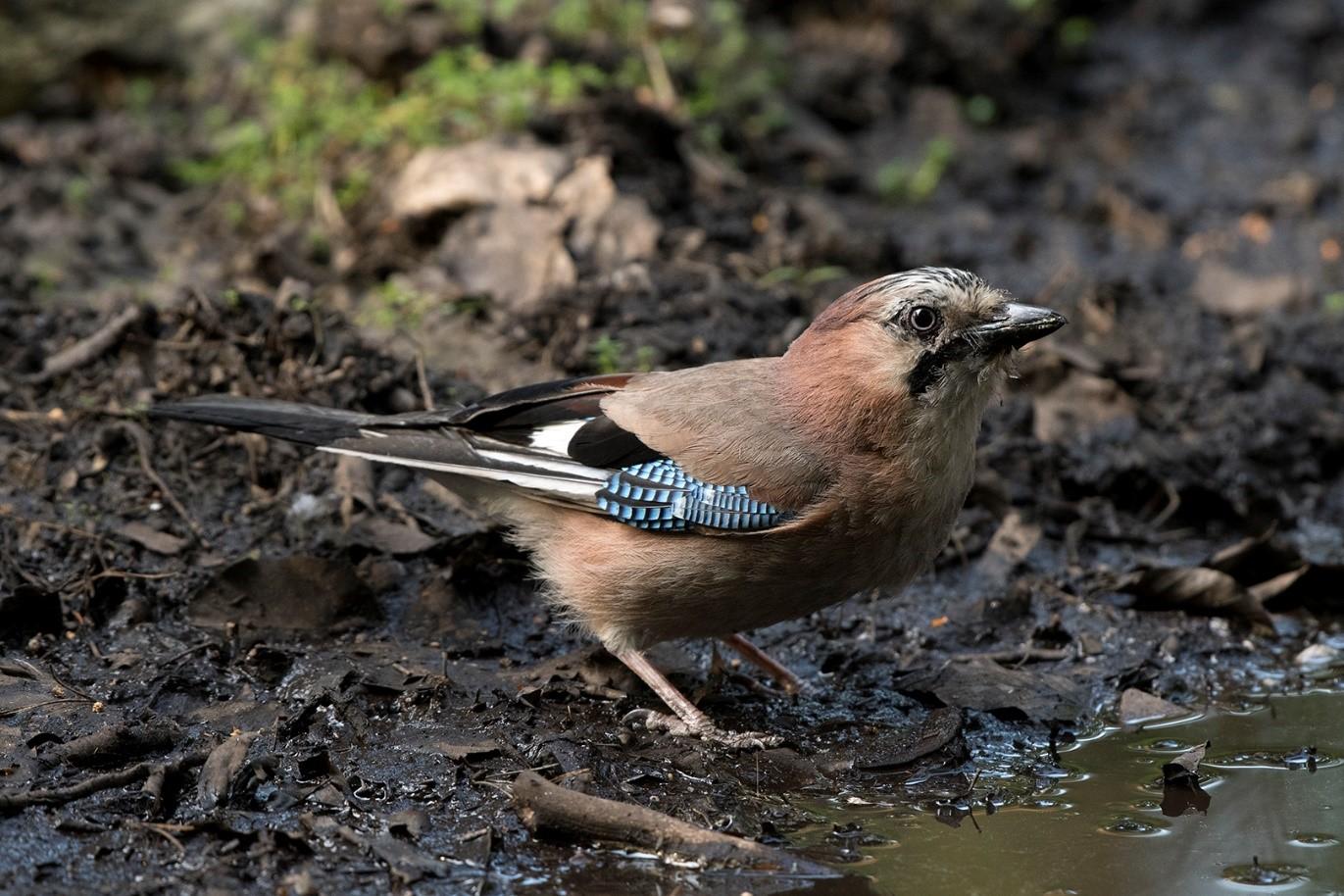 Vlaamse-Gaai, ook wel de Bosbouwer of Bospolitie genoemd, heeft ook dorst - Foto: ©Ton Heekelaar