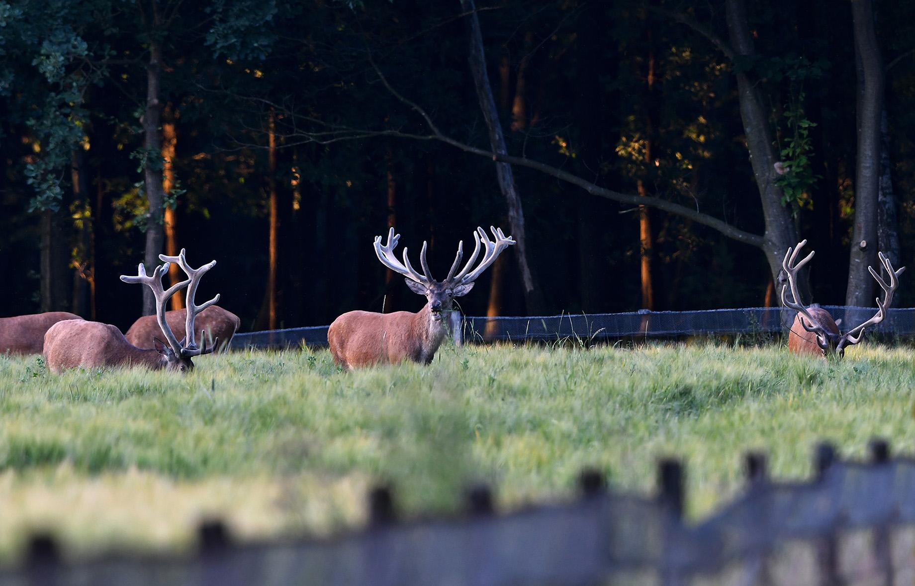 De herten keken regelmatig om beurten omhoog - Foto: ©Louis Fraanje
