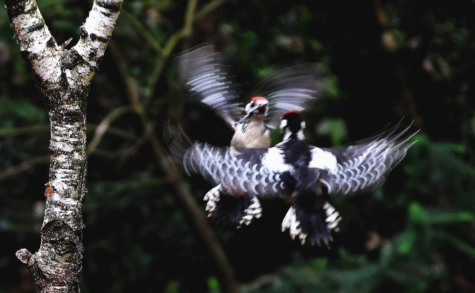 De jonge spechten vliegen elkaar in de vleugels - Foto: ©Louis Fraanje
