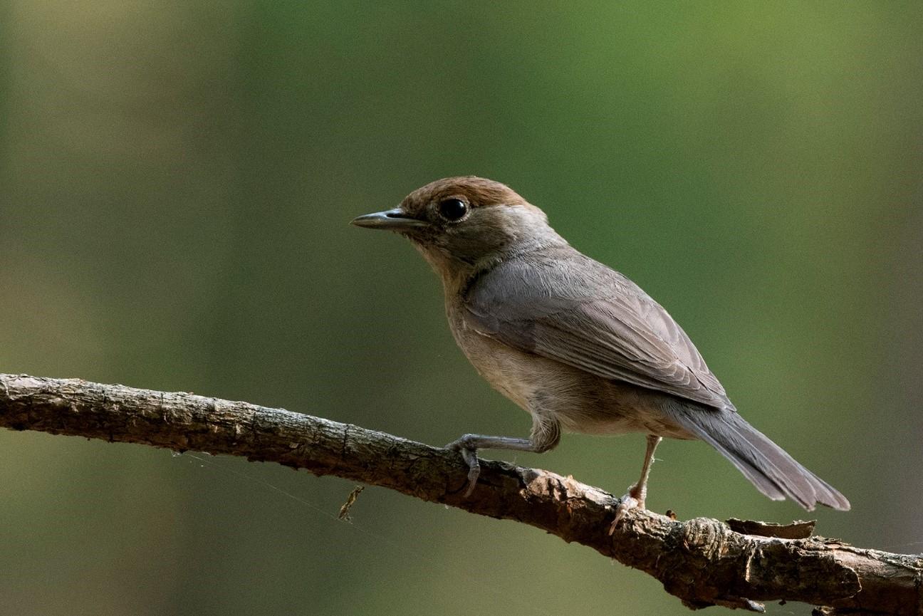 Zwartkop (vrouwtje) met bruin petje - Foto: ©Ton Heekelaar