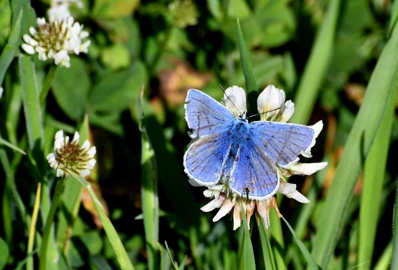 Het Icarusblauwtje (mannetje) heeft al wat kleine beschadigingen opgelopen – Foto: ©Louis Fraanje