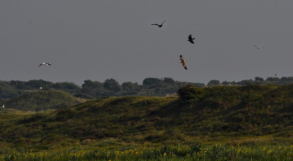 De Kiekendief wordt belaagd door een Zwarte kraai - Foto: ©Louis Fraanje
