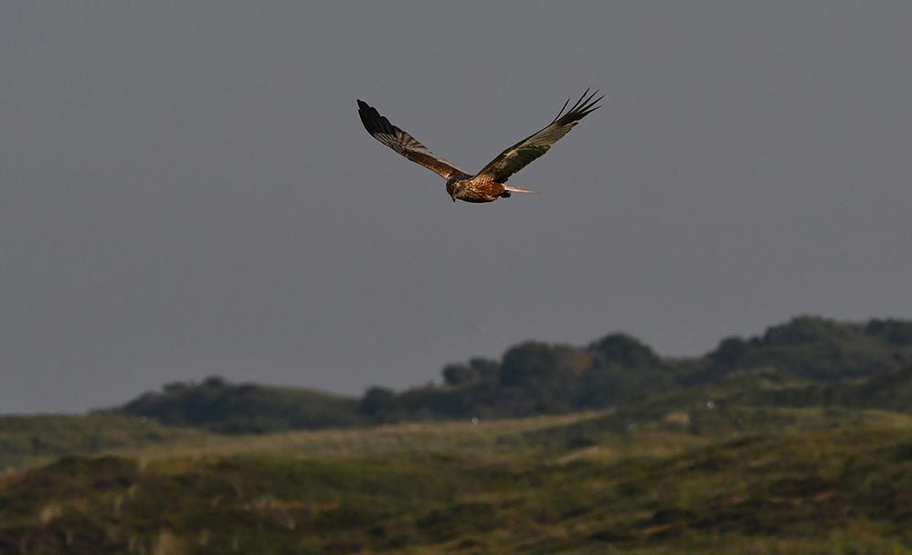 Al zwevend en cirkelend vliegt de kiekendief laag boven het duinlandschap - Foto: ©Louis Fraanje