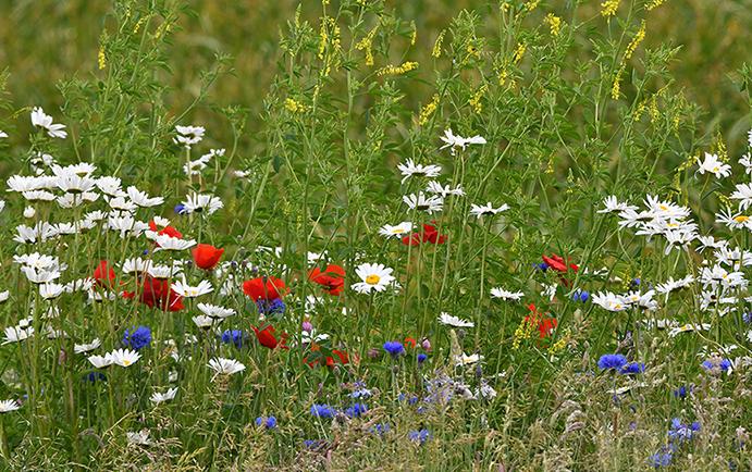 Een kleurenpalet van Klaprozen, Korenbloemen en Margrieten – Foto: ©Fransien Fraanje