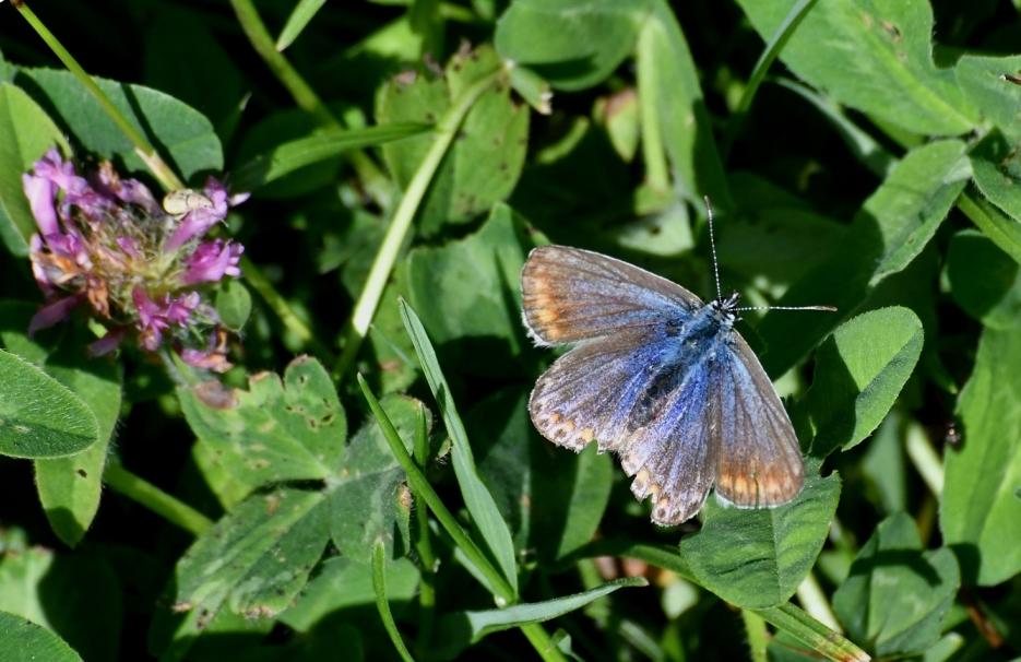 Icarusblauwtje een bruine variant is blijkbaar het vrouwtje – Foto: ©Louis Fraanje