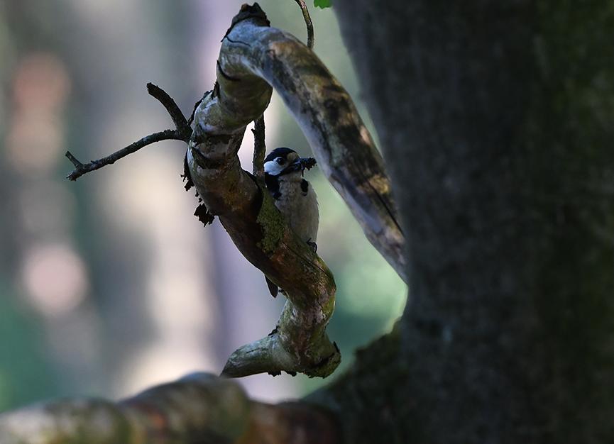 Steeds zit de specht weer op een ander plekje verscholen - Foto: ©Louis Fraanje