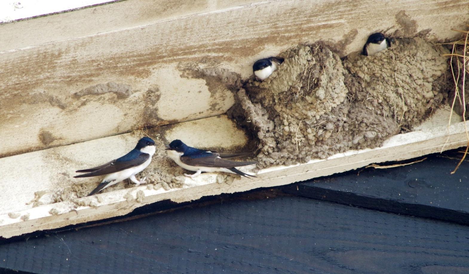 Tegen de gevels van twee schuren van de biologische melkveehouderij Ark nestelen huiszwaluwen. De boerderij ligt aan de Arkerweg in de polder Arkemheen bij Nijkerk. Boerenzwaluwen en huiszwaluwen vliegen schijnbaar ordeloos door elkaar, maar de boerenzwaluwen nestelen binnen in de schuren – Foto: ©Gerrit de Graaff