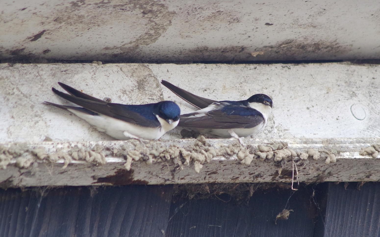 Een paartje huiszwaluw is bezig met de nestbouw op een smal randje langs het dak. Het is vakwerk dat af en toe wel eens mislukt – Foto: ©Gerrit de Graaff