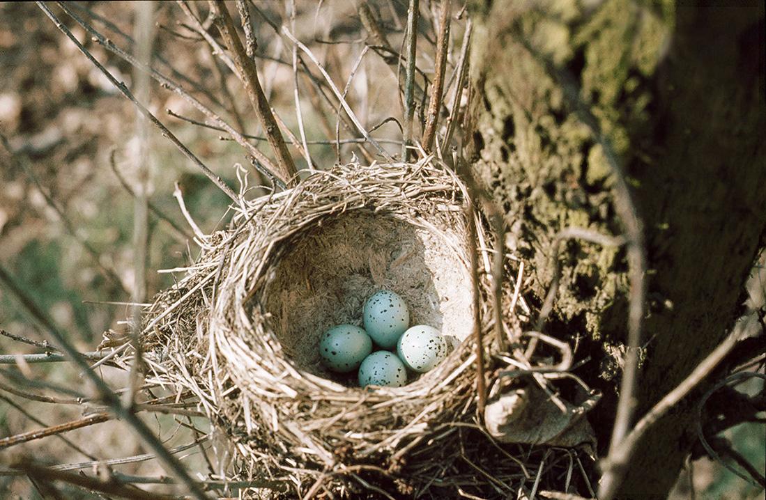 Het nest van de zanglijster krijg je zelden te zien. Het is aangesmeerd van binnen. De merel doet dat niet - Foto: ©Gerrit de Graaff