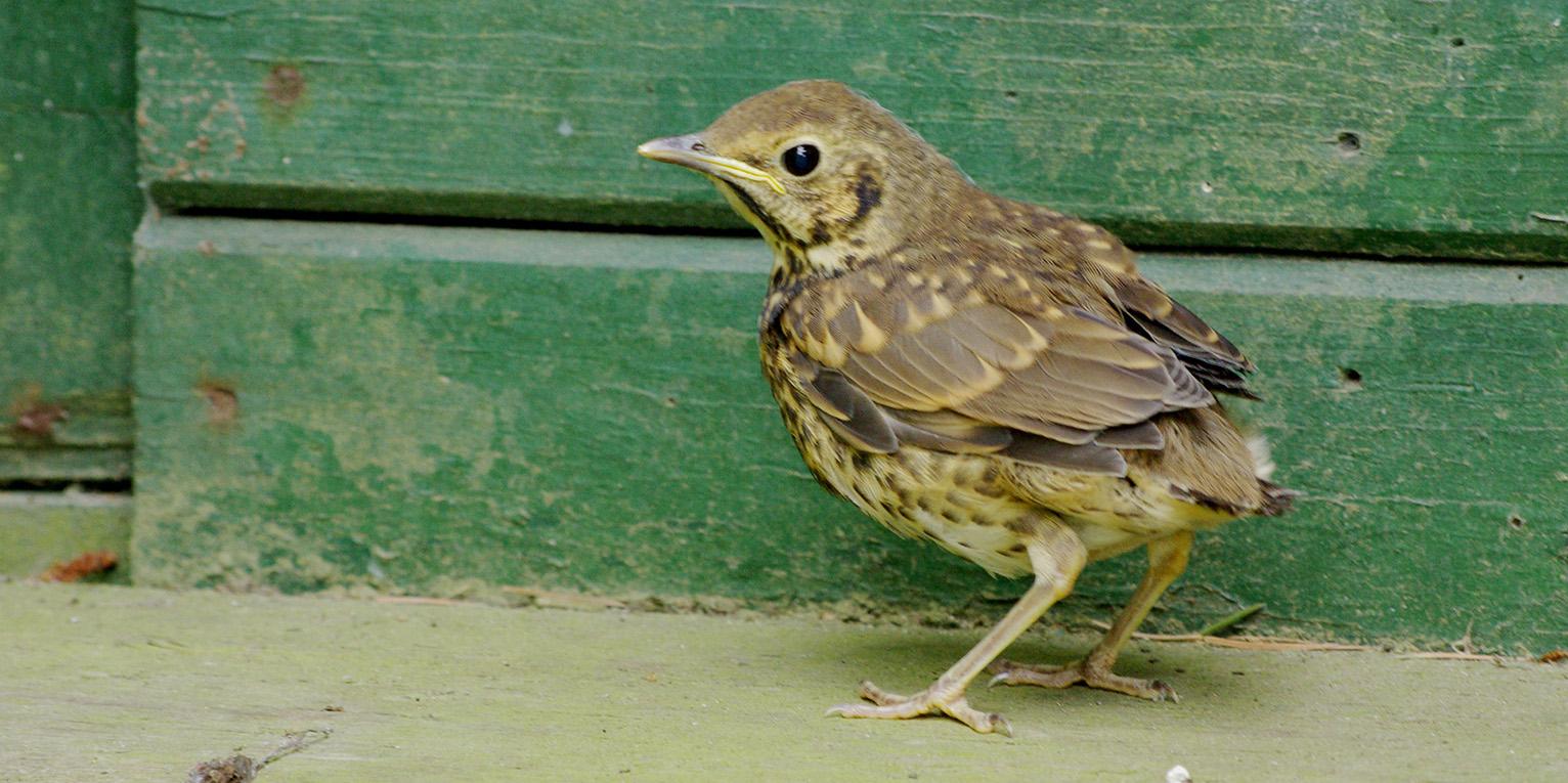 Deze uitgevlogen jonge zanglijster is erg kwetsbaar. Het wordt nog gevoerd, maar het vogeltje is nogal eens voor de poes… - Foto: ©Gerrit de Graaff