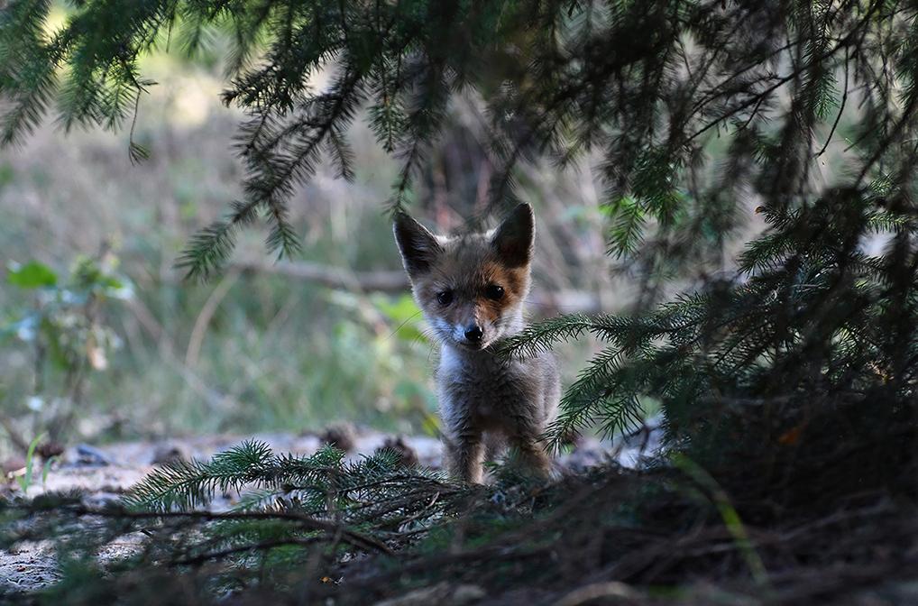 Een jonge vos die wel heel dichtbij komt - Foto: ©Louis Fraanje