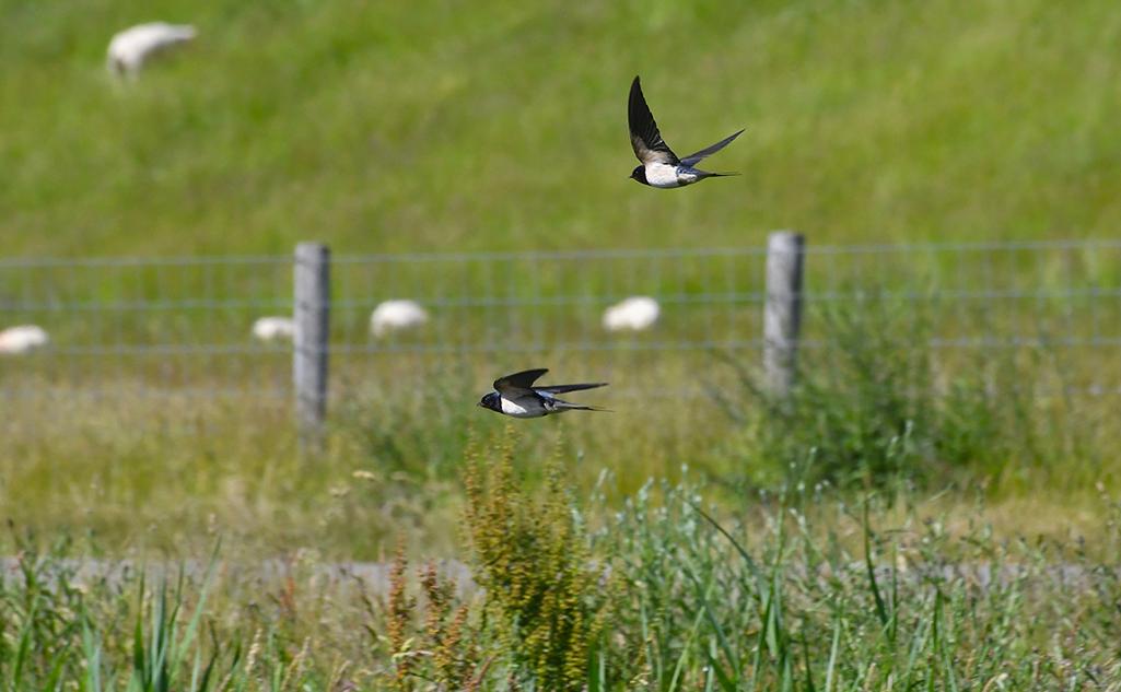 1 foto 1 Noordwaarts deel 45 zwaluwen in vlucht