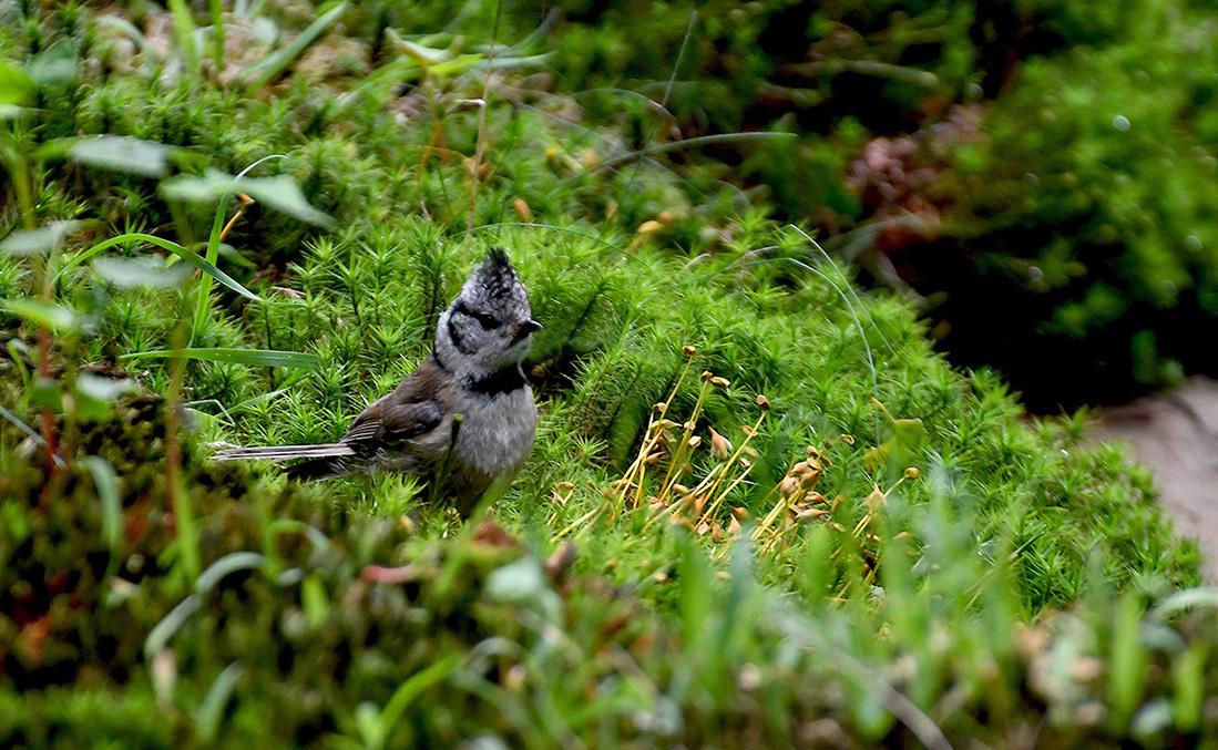De kuifmees heel statig tussen het groene mos – Foto: ©Louis Fraanje