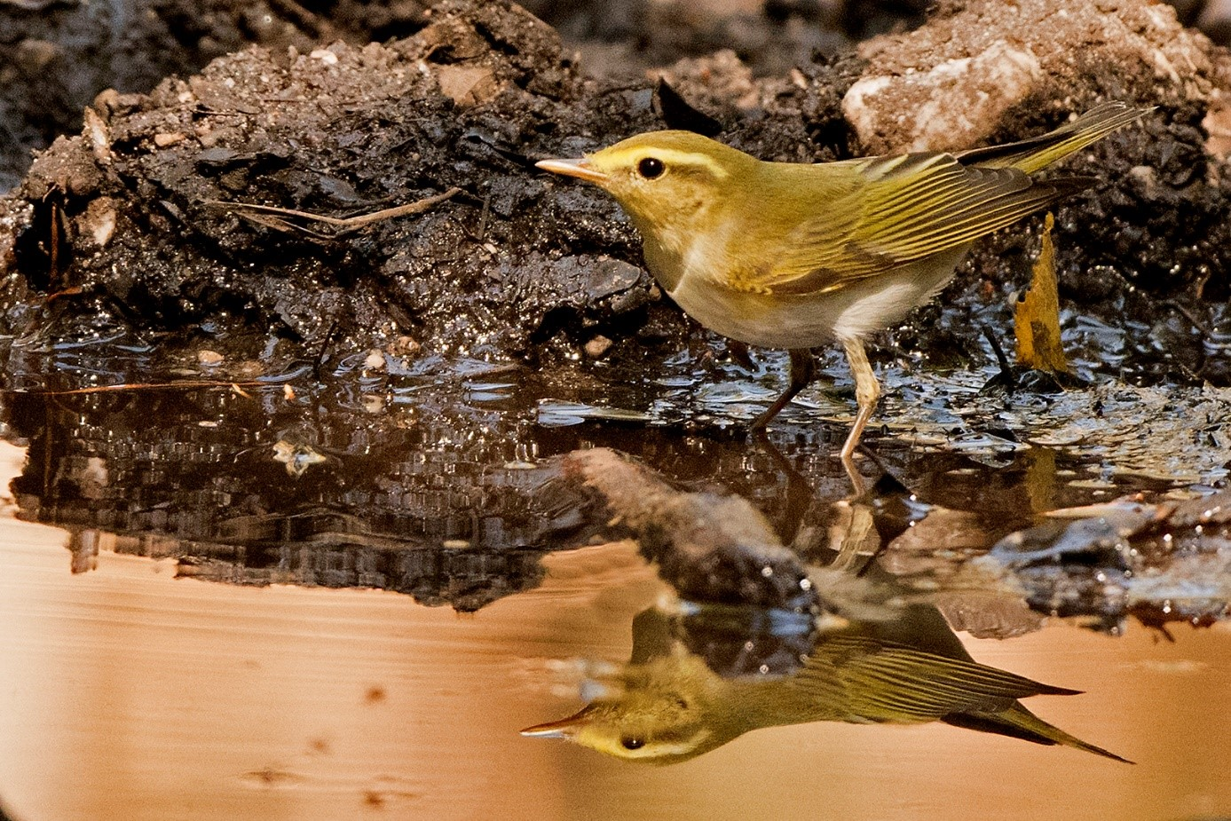 De groenachtige Fluiter met zijn kenmerkende geel/groene oogstreep - Foto: ©Ton Heekelaar