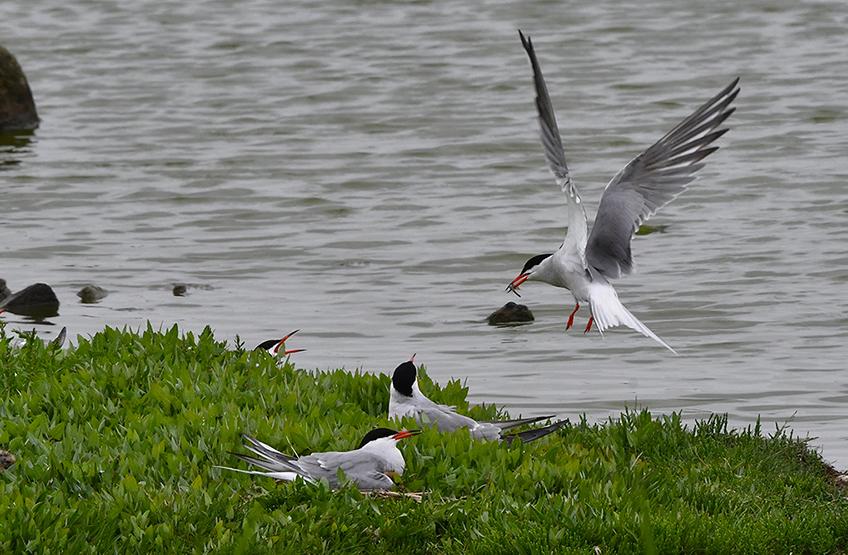 Iedereen schreeuwt om het hardst als een visdief met prooi komt aanvliegen - Foto: ©Louis Fraanje