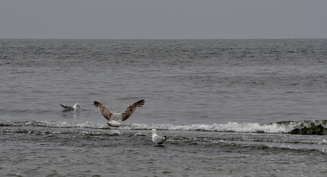 En maakt een landing tussen zijn soortgenoten in de branding - Foto: ©Louis Fraanje