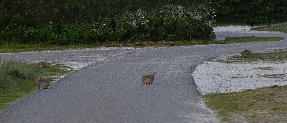 6 foto 6 konijnen op texel weg