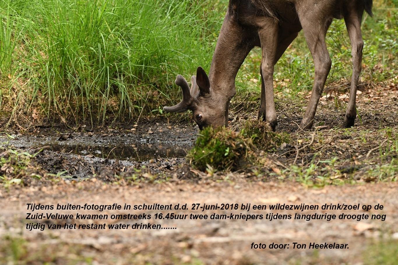 Het grofwild krijgt steeds meer behoefte aan het schaars wordende water - Foto: ©Ton Heekelaar