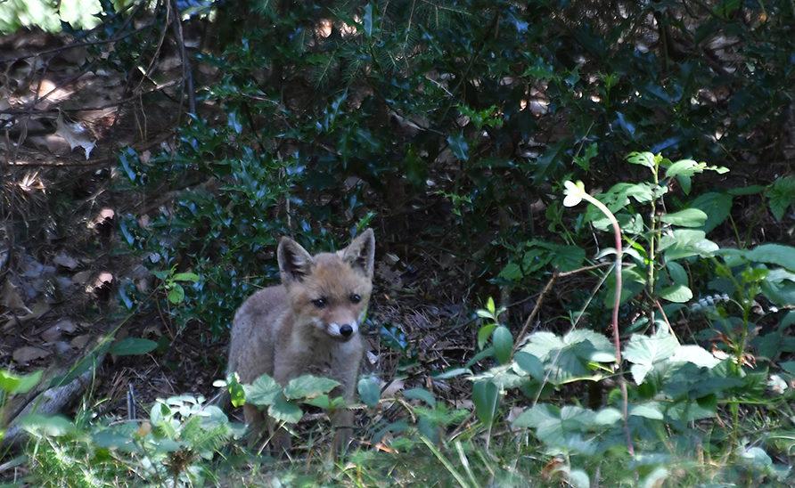 Dan verschijnt er een jonge vos op het toneel – Foto: ©Louis Fraanje
