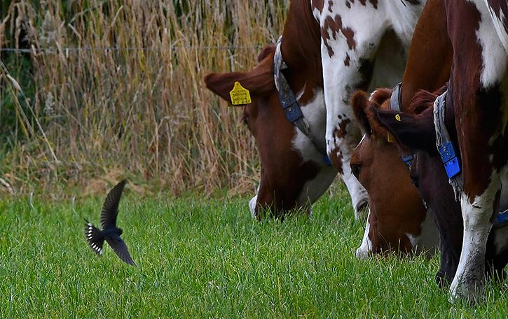 7 foto 7 zwaluw bij koeien sz zwervend
