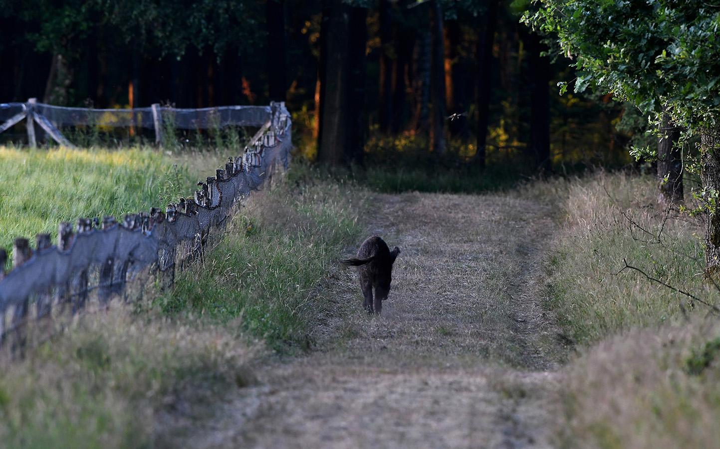 Ineens kwam er een wild zwijn uit het bos tevoorschijn - Foto: ©Louis Fraanje