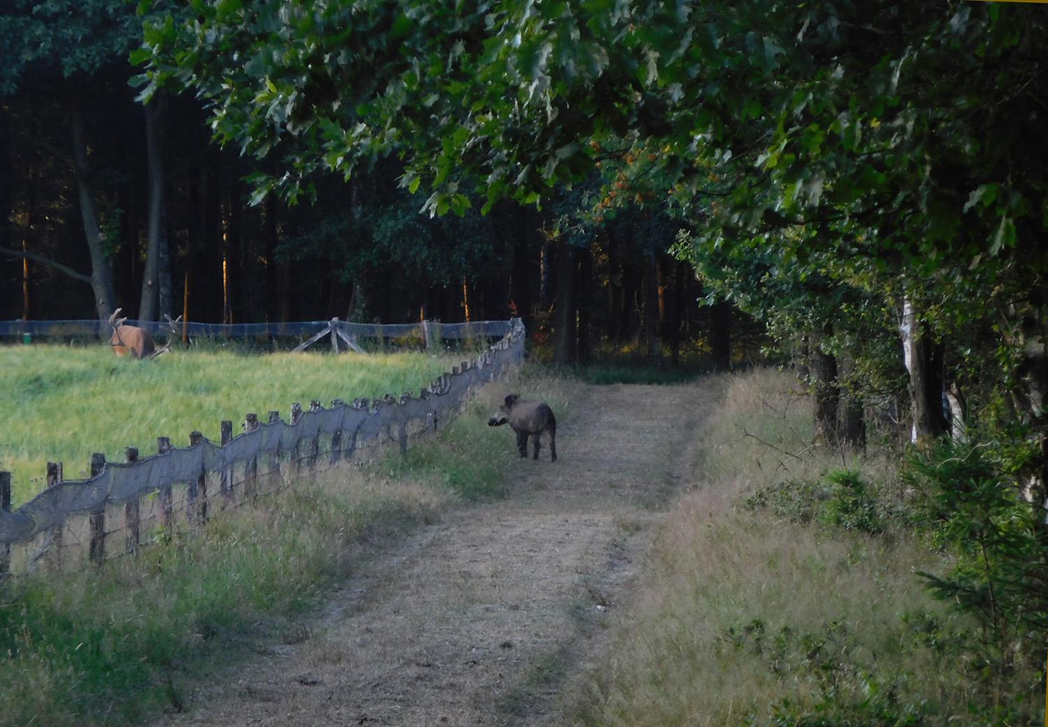 Het zwijn probeert te ontdekken wat er aan de hands is - Foto: ©Fransien Fraanje