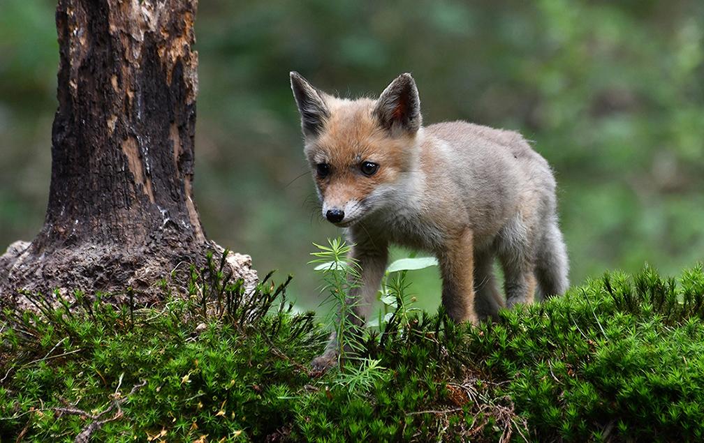 Op zoek naar iets eetbaars tussen het mos langs de vijver – Foto: ©Louis Fraanje