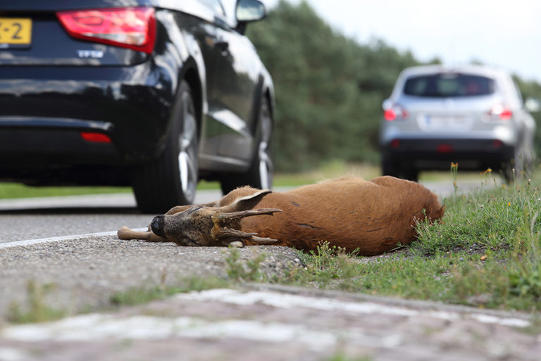 Matig uw snelheid en voorkom een aanrijding met overstekend wild – Foto: ©Eline de Jong