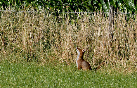 foto 4 vosje zwervend deel 2 kijkt omhoog Copyright Foto Louis Fraanje