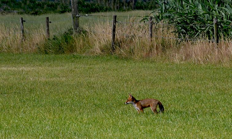 4 foto 4 vos in weiland sz zwervend
