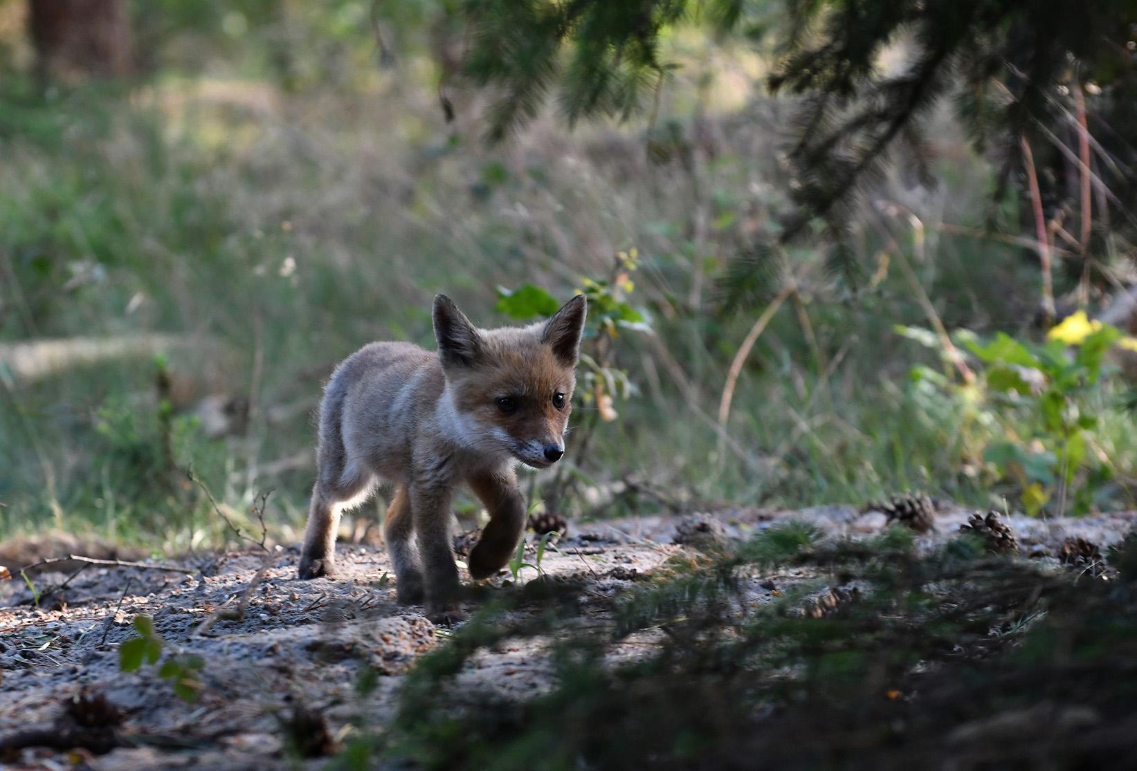 Op een gegeven moment komt het vosje wel heel dichtbij – Foto: ©Louis Fraanje