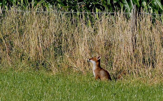 foto 3 zwervend deel 2 vosje kijkt omhoog Copyright Foto Louis Fraanje