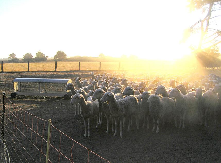 Foto 1 Eerste ochtendgloren Christien Mouw schapen kraal