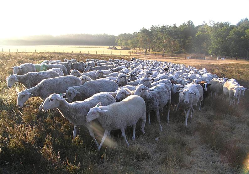 Foto 5 Ochtendgloren Kudde schapen
