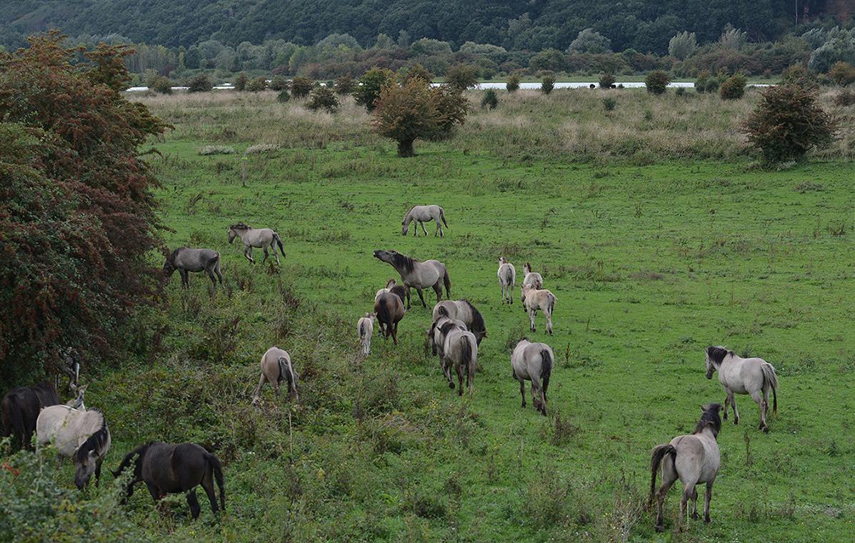 Konikpaarden Blauwe Kamer