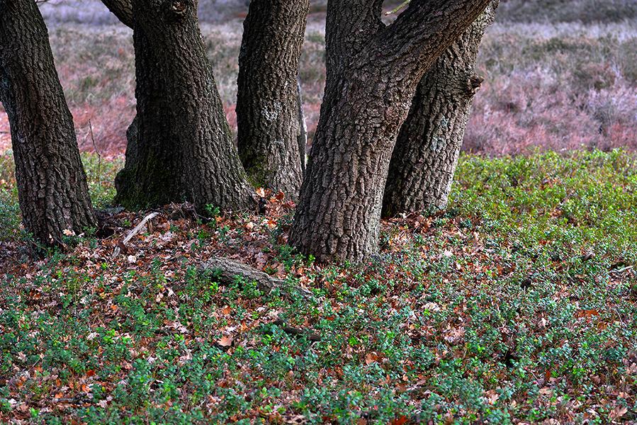 bomen en vossenbes