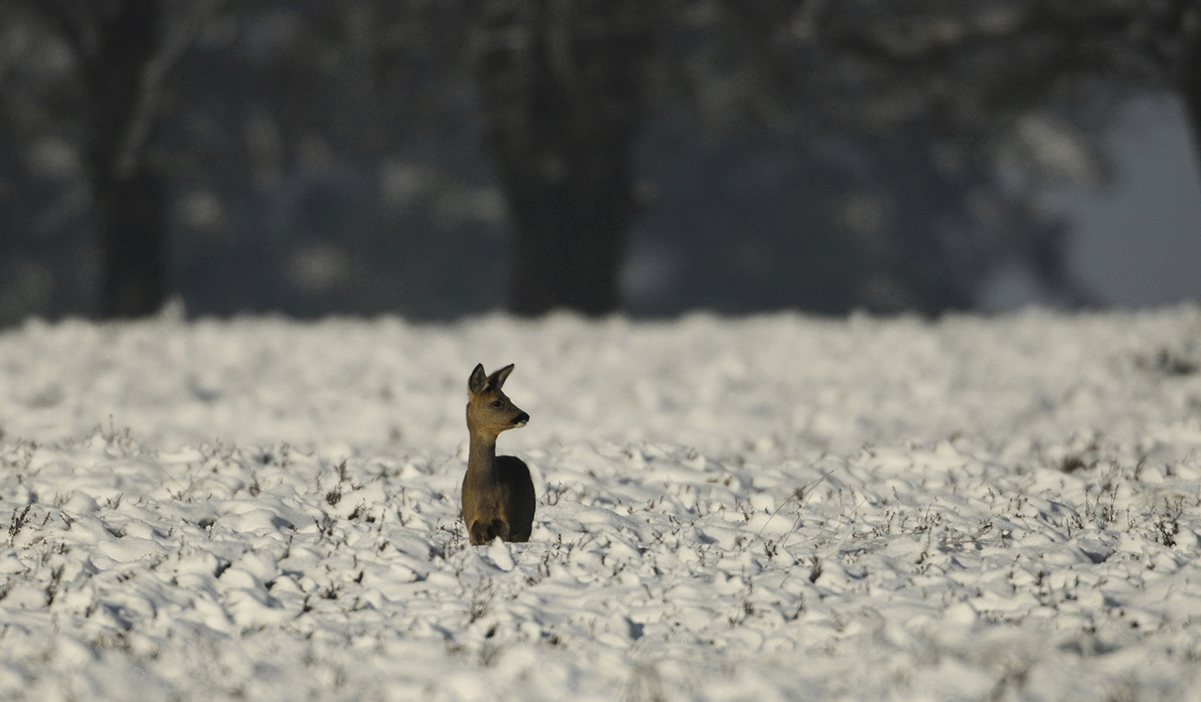 2 Reegeit in sneeuw Louis Fraanje