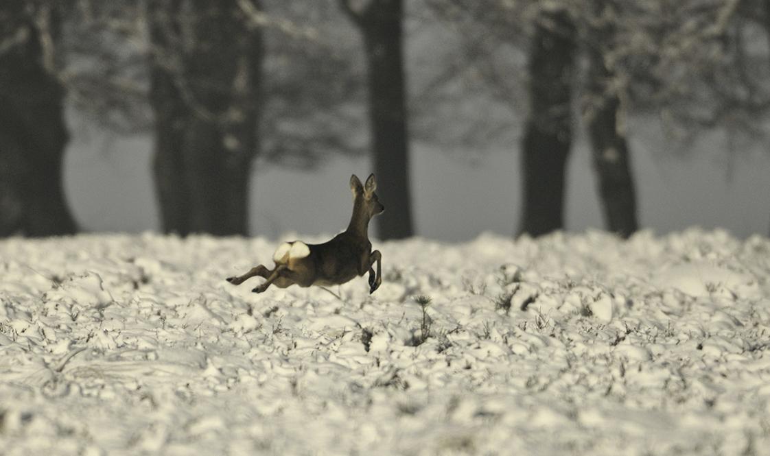 3 Zwevende reegeit op de sneeuw - Louis Fraanje
